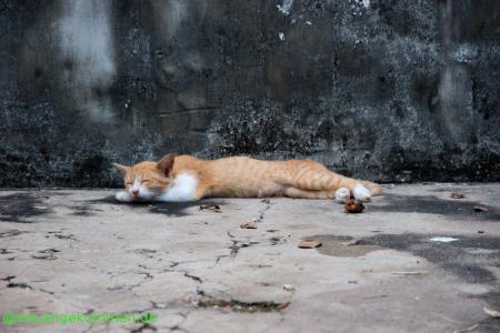 eine Katze in Kambodscha